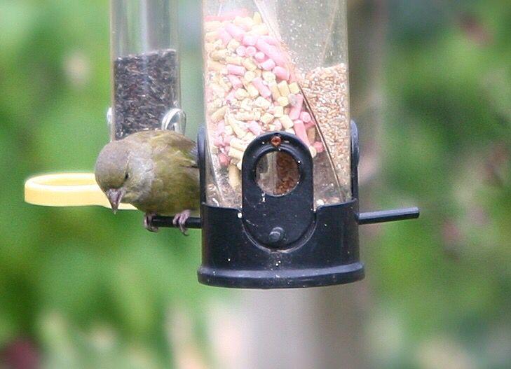 Greenfinch Bird garden, British garden, Greenfinch