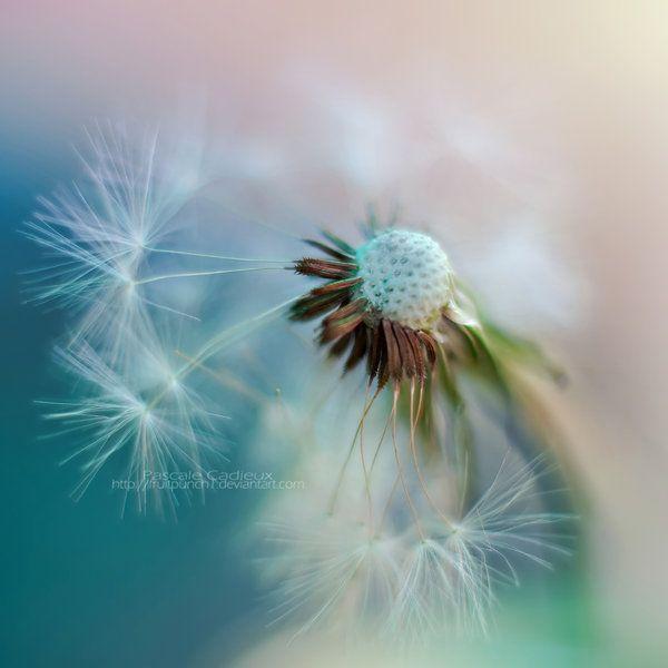 Dandelion by *fruitpunch1 on deviantART