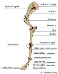 Equine Front Leg Horse Anatomy Dog Anatomy Horses