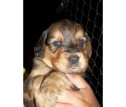 Golden Rottie Golden Retriever Rottweiler Mix I Want A Puppy