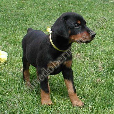 Doberman Pinscher Pup Doberman Pinscher Puppy Doberman Pinscher