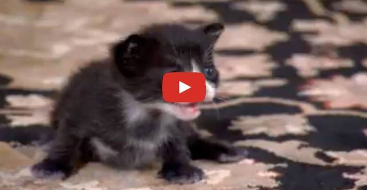 Tiny Tuxedo Cat Oreo Looks For A New Mother Animals And Pets