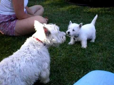 Westie Puppy Chats With 10 Year Old Westie Who Gets The Last Bark Westie Puppies Scottie Puppies Westies