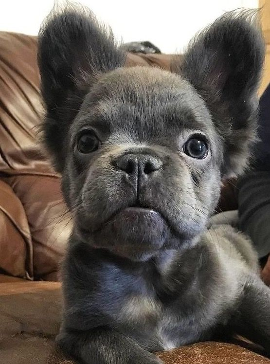 Grey Long Haired French Bull Dog Cute Baby Animals Cute Animals French Bulldog Puppies