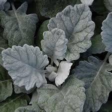 Image Result For Dusty Miller Varieties Wholesale Plants Wholesale Plant Nursery Wholesale Flowers