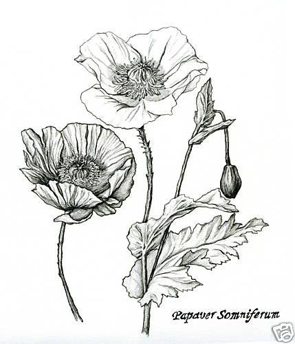 Pencilflowerdrawingsofpoppyandgingernutmegplants Poppies