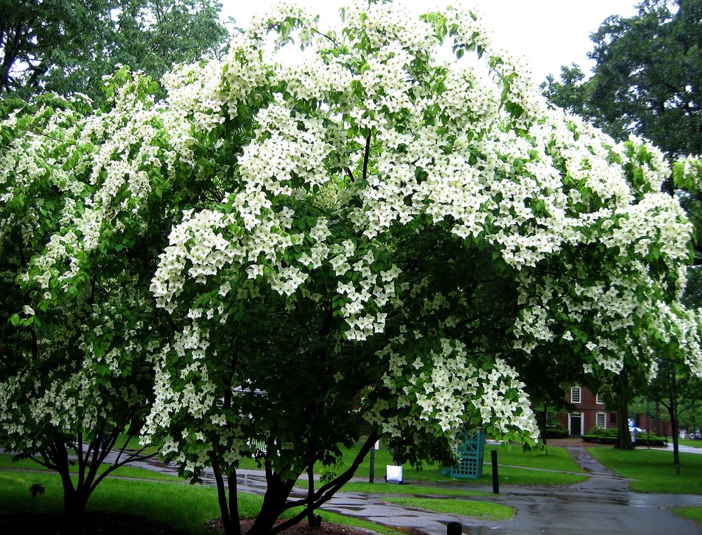 Planting Dogwood Kousa Tree How To Take Care Of Kousa