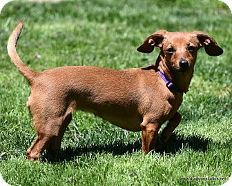 Pictures Of Lily 6 Urs 7 Pds 200 Fee A Dachshund Chihuahua Mix