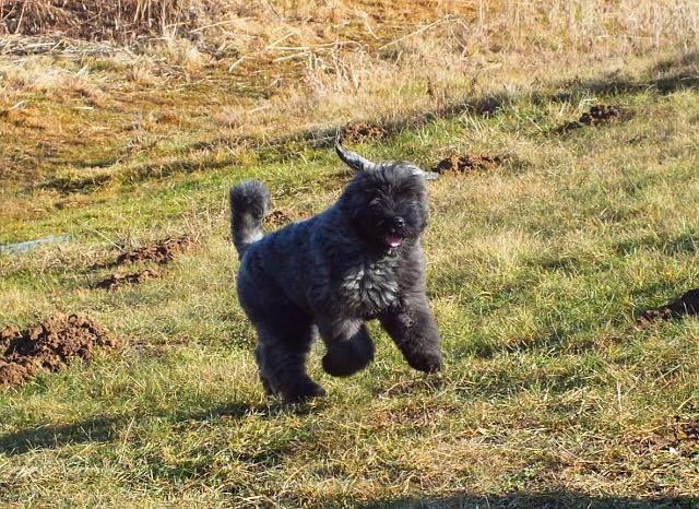 Mooie Aktie Foto Van Deze Boef Bouviers Des Flandres Animal Action Dog Love