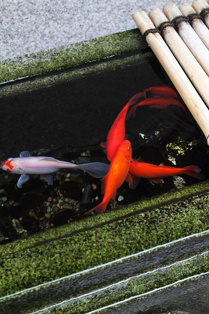 Kingyo (Japanese Goldfish) in Kyoto, Japan