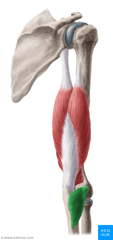 Anconeus muscle (Musculus anconeus)   Muscle, Vein, Artery, Nerve ...