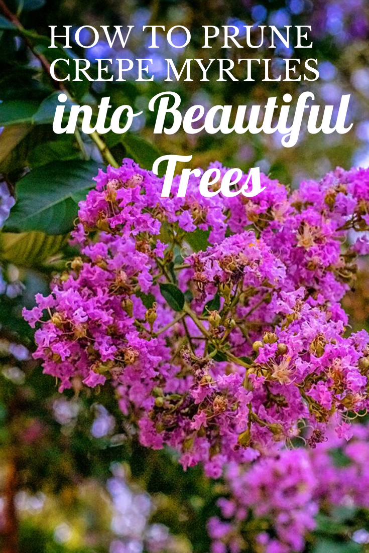 How To Style Crapemyrtles Into Shapely Trees In 2020 Crepe Myrtle Landscaping Crepe Myrtle Trees Crepe Myrtle