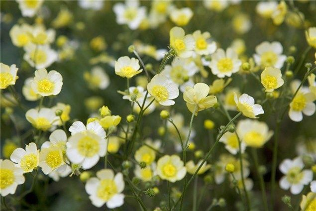 how to grow ranunculus uk