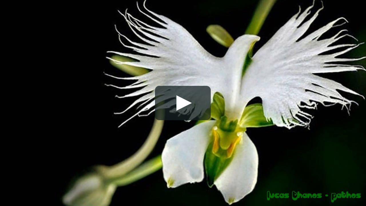 Image result for dove orchid marvallous flowers pinterest orchid
