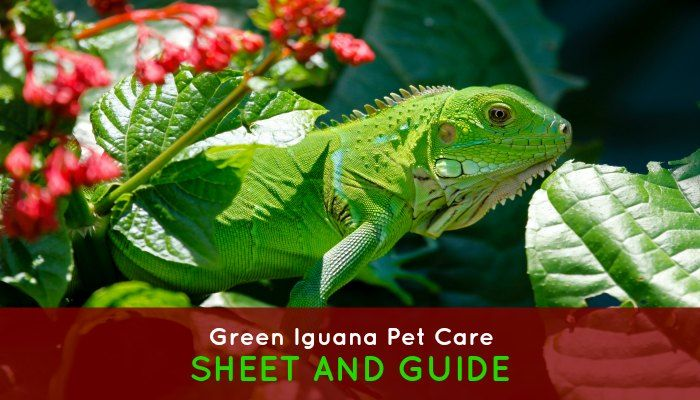 Green Iguana Pet Care Sheet And Guide Re Pin If You Got Value