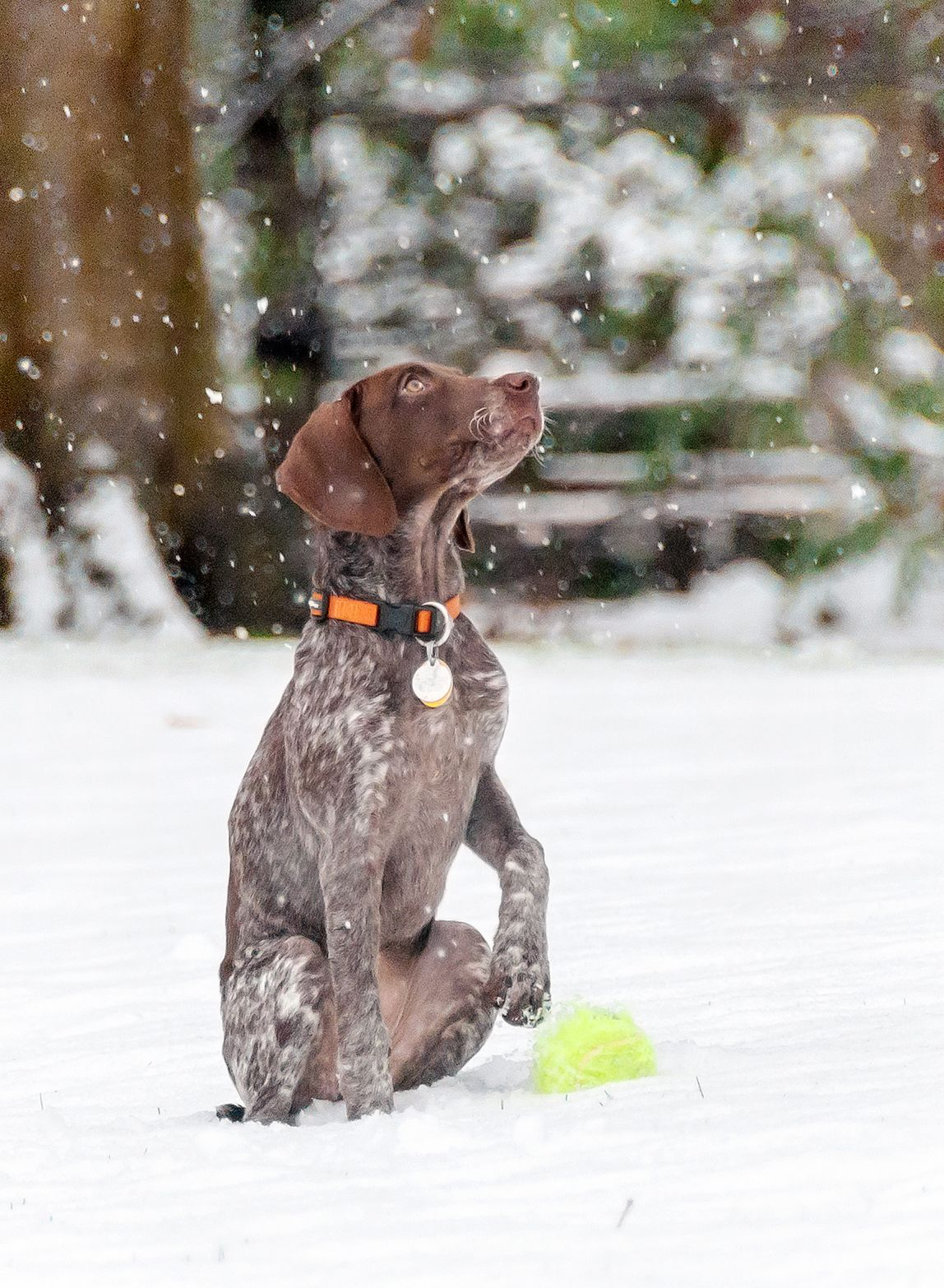 Gsp Puppy Playing In Snow For The First Time Puppy Play Gsp