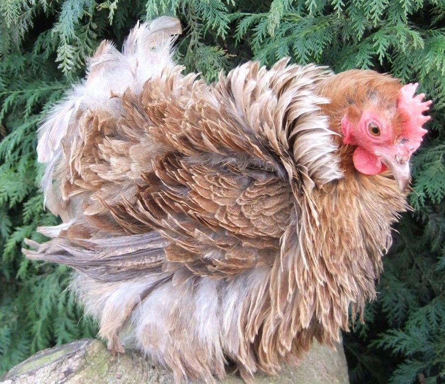 пол курицы картинки онлайн позволяет сделать