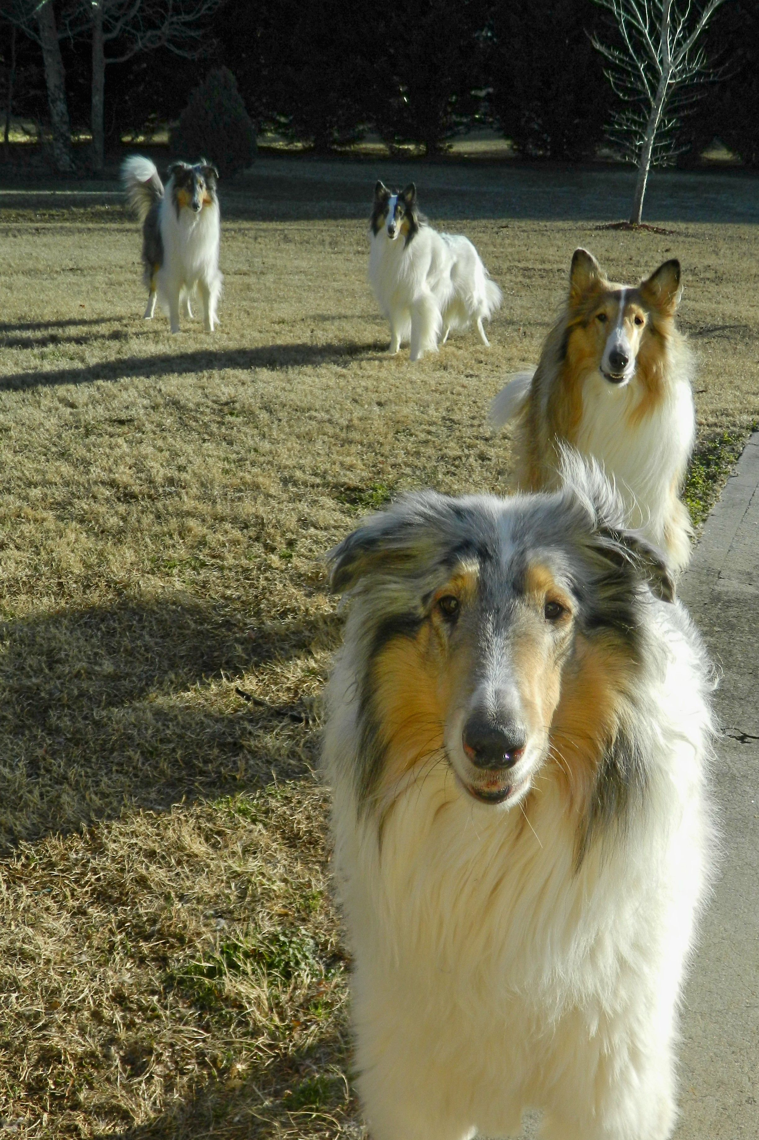 Smooth collie puppies ontario