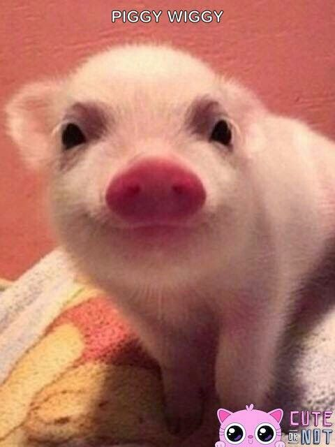 How cute is piggy wiggly just adore him