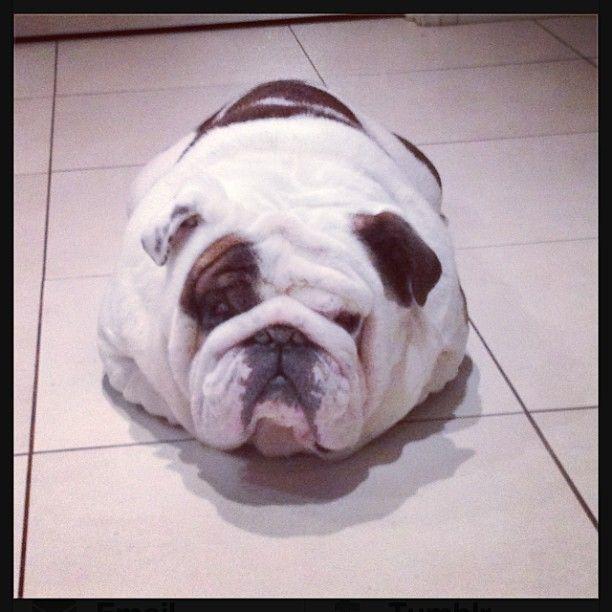 I Ve Fallen And I Can T Get Up Bulldog Puppies Bulldog Dog