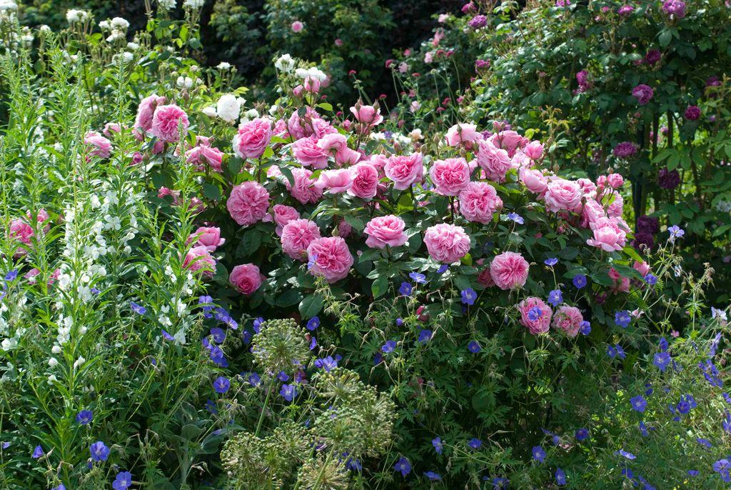 Englische Rosen Rose, Stauden pflanzen und Englisch - bauerngarten anlegen welche pflanzen
