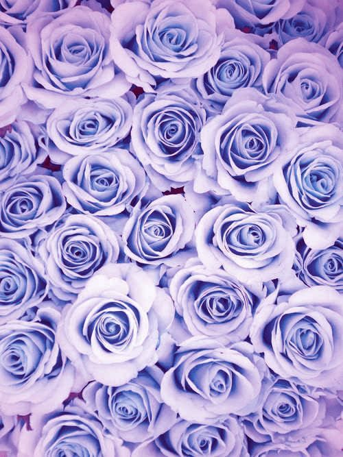 You Could Use These Sweet Backgrounds 24 Photos Colorful Roses Cool Backgrounds Pink Roses
