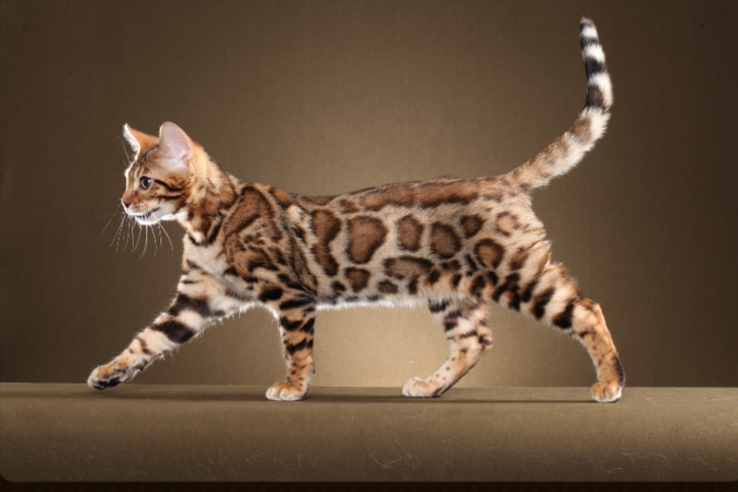 Painted Cats Bengal Kittens For Sale Bengal Breeder Bengal Kitten Breeders Cats Animals Bengal
