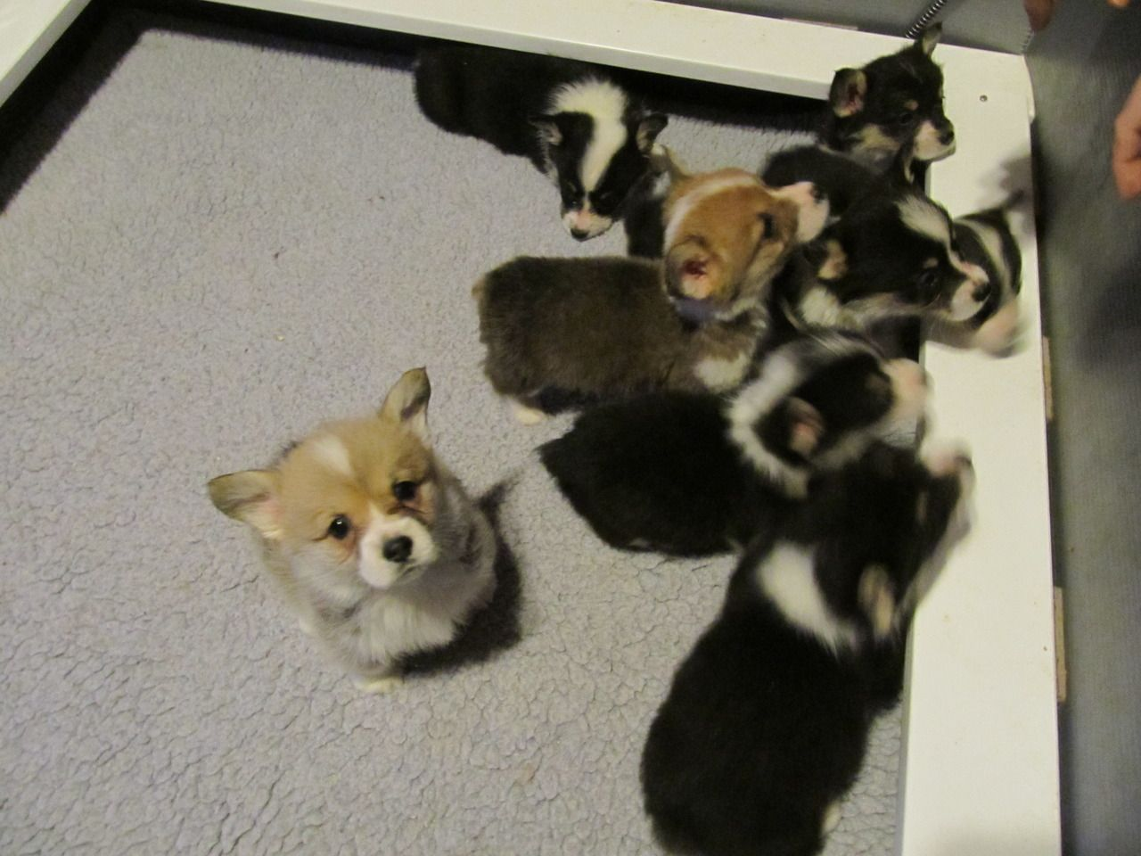 6 Week Old Puppies Melting Submitted By Dean Corgi Cute