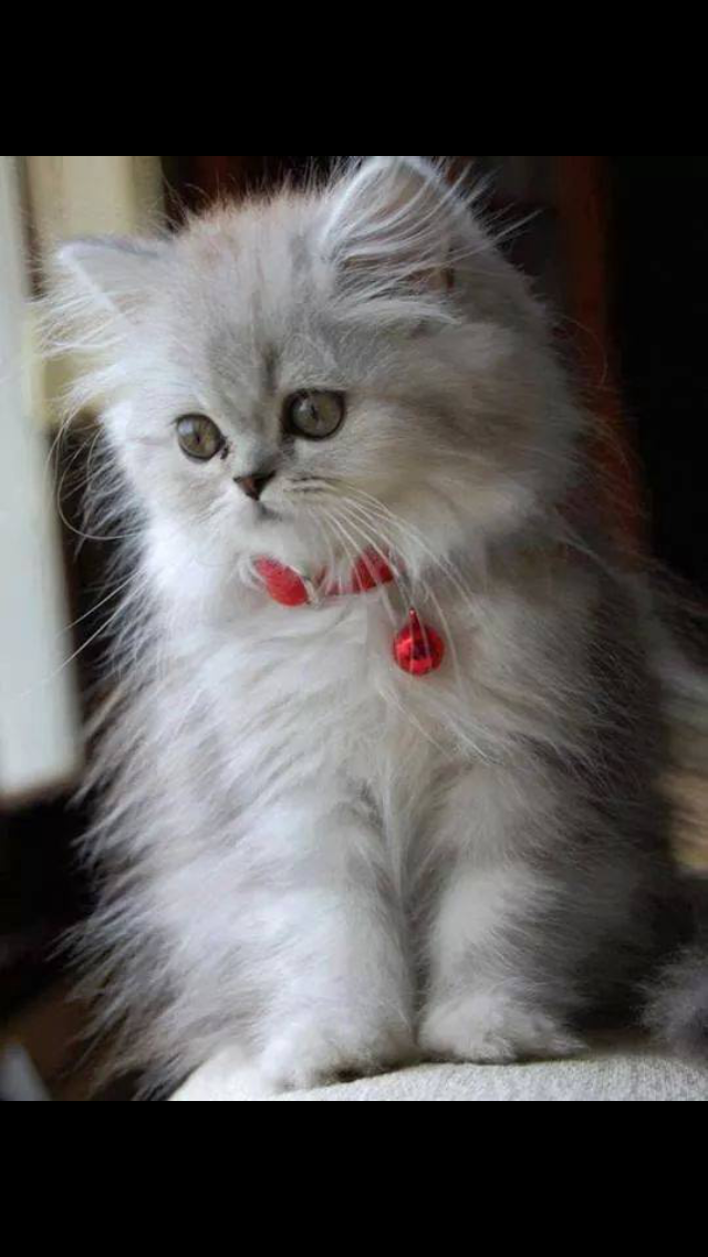 Pin by Lisa Haag on Awwwwe (With images) Kittens cutest