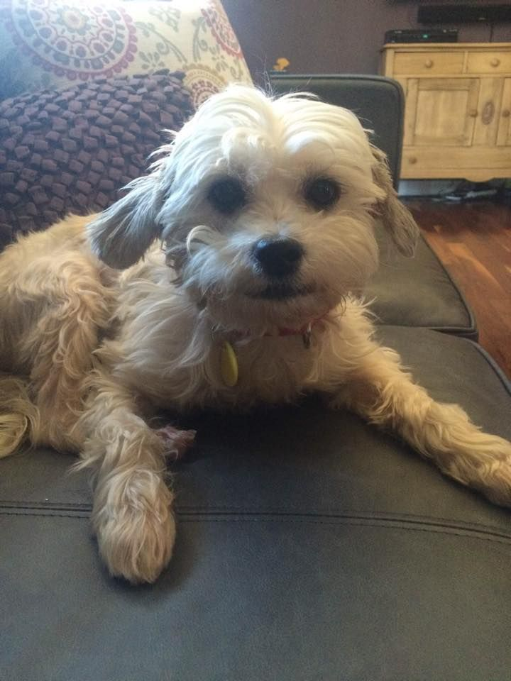Ottawa Dog Rescue Princess 6 Year Old Shih Tzu Mix Pending