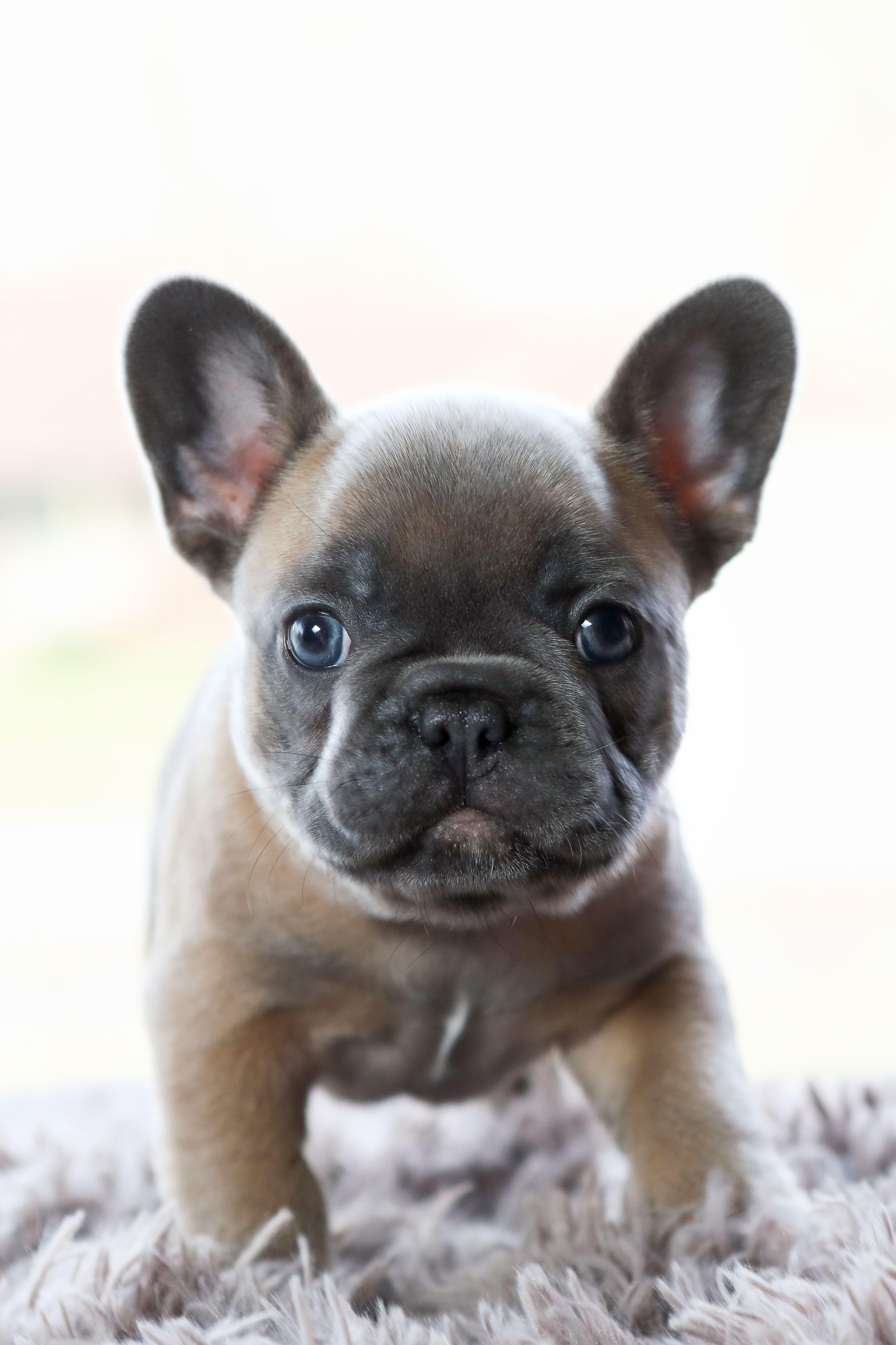 French Bulldog en 2020