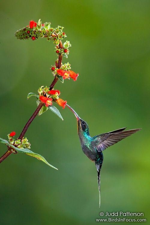 Amazing Jewel Green Hermit Hummingbird feeding the nectar flower.