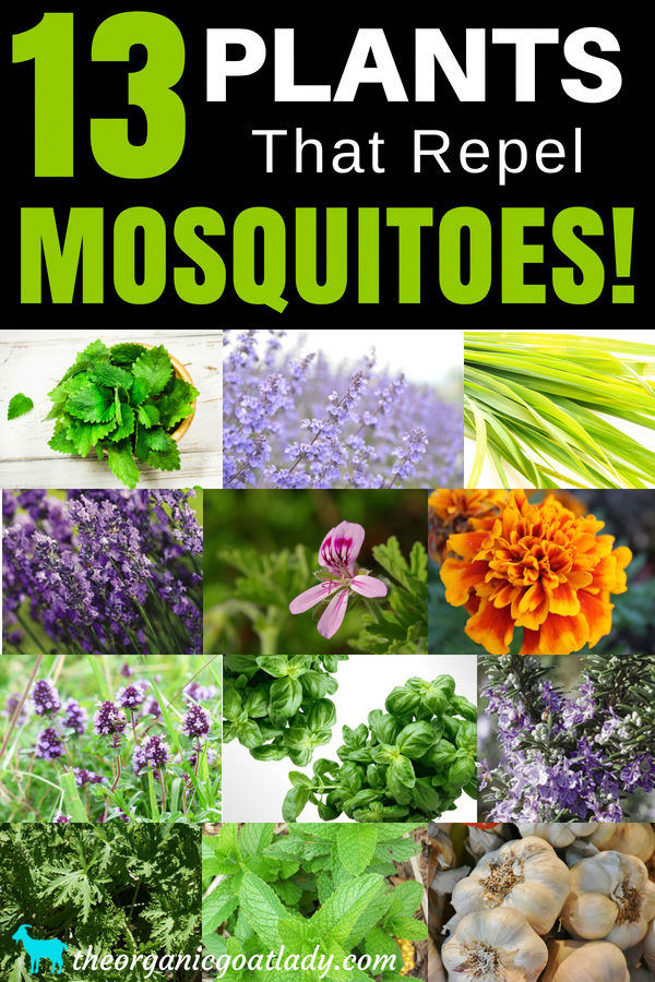 13 Plants That Repel Mosquitoes! Plant these 13 plants in ...