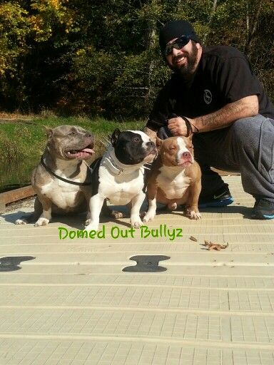 Pin By Stacey Harrisbrinser On American Bully American Bully Dogs And Puppies Pocket Bully