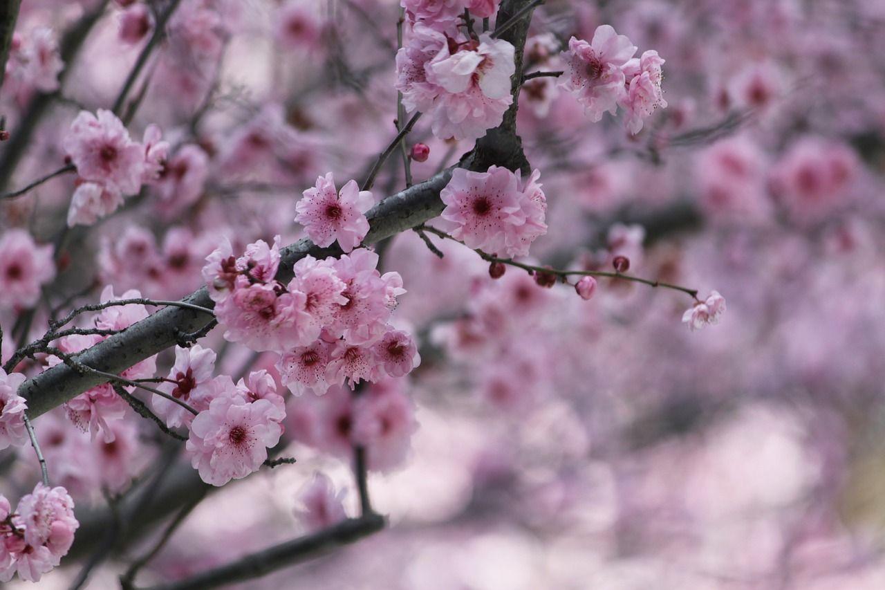 Arbol De Cerezo Japones imagen gratis en pixabay - sakura, flor de cereza | arbol de