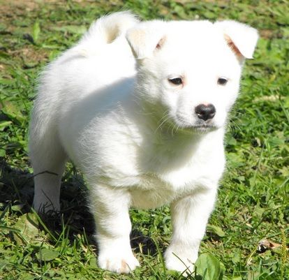 Pug And Samoyed Pug Mixed Breeds Puppies I Love Dogs