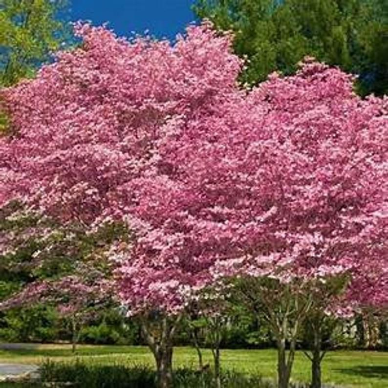 Pink Dogwood Seedling Xl Jumbo Size Seedlings 2 3 Feet Tall