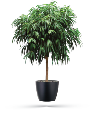 ficus alii is an attractive easy to grow houseplant for both indoors and
