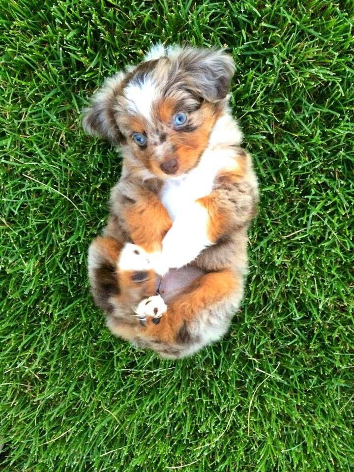 Mini Australian Shepherd Puppy Love Those Blue Eyes Animaux