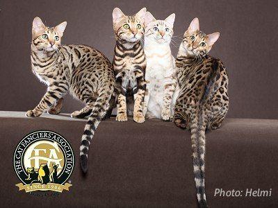 Breed Profile The Bengal Bengal Cat Bengal Cat Pics