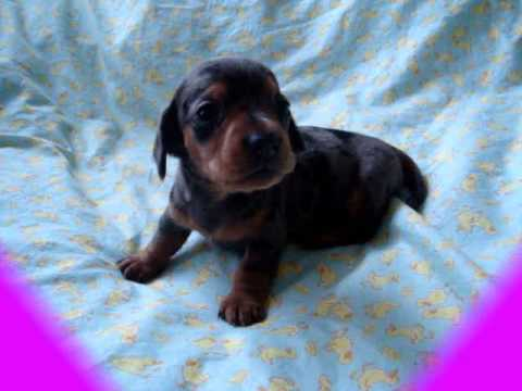 Cute Little Barking Mini Dachshund Puppy Mini Dachshund