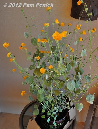 Indian Mallow Abutilon Palmeri How To Pack Plants In Your