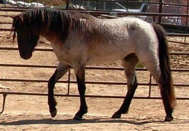 ZGC Diego--Curly coated Smoky Blue Roan Missouri Fox Trotter stallion