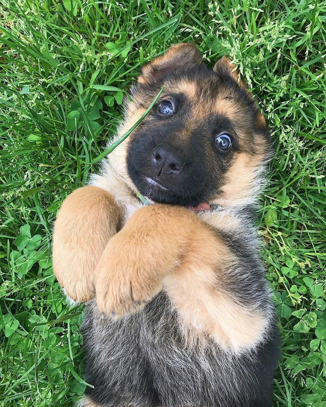 сделать картинки собак овчарок немецких щенков произведение электронном