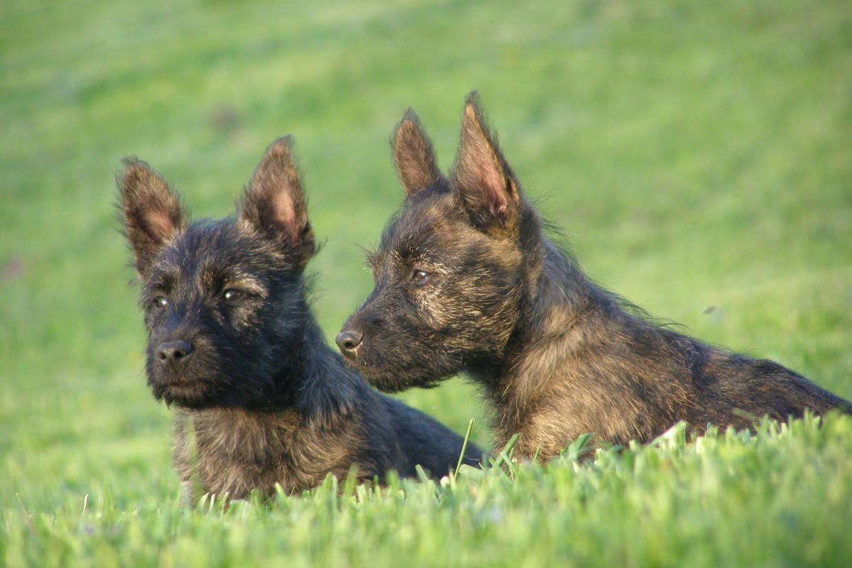 Adorable Bushland Terrier Pups Cairn Scottie Cross In Sidney