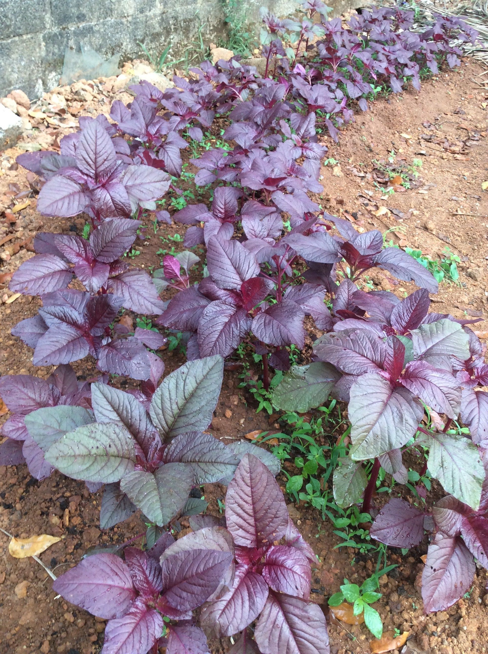 Red Spinach Growing Your Own Lifezshining Red Spinach Garden Soil Mix Mother Plant