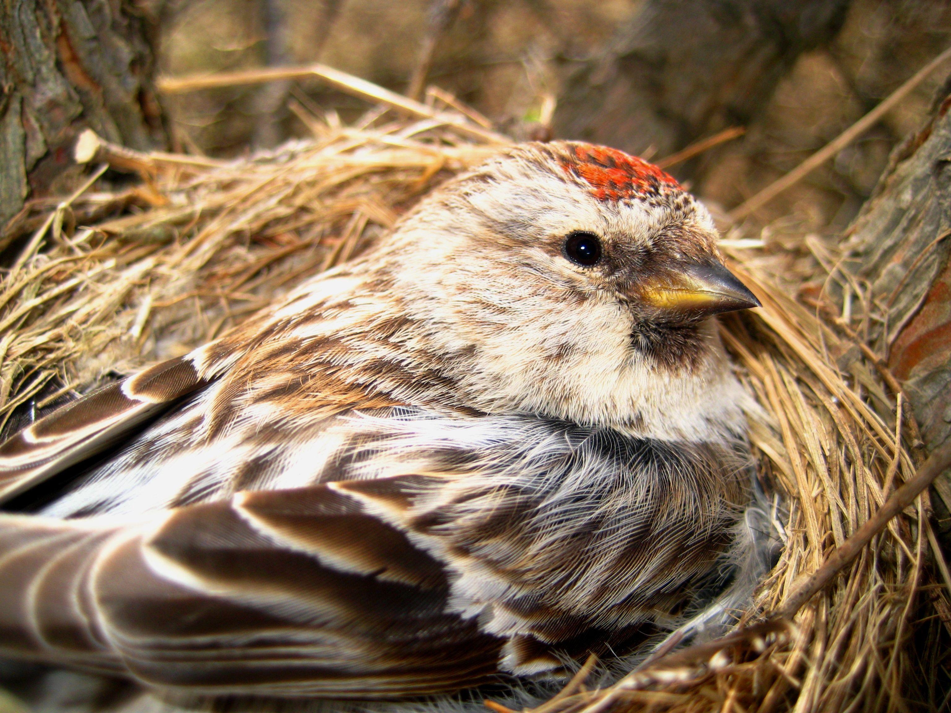 Nest Of Common Redpoll