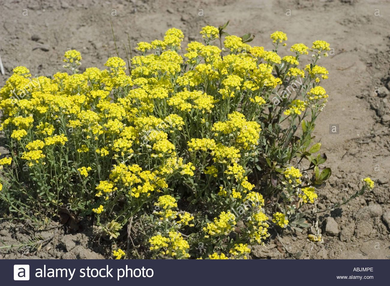 Download This Stock Image Plenty Of Small Yellow Flowers