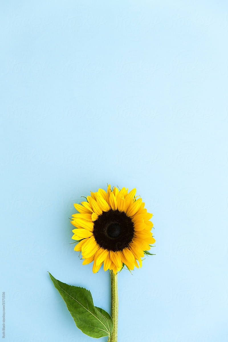 Sunflower On Blue By Ruth Black For Stocksy United Sunflower