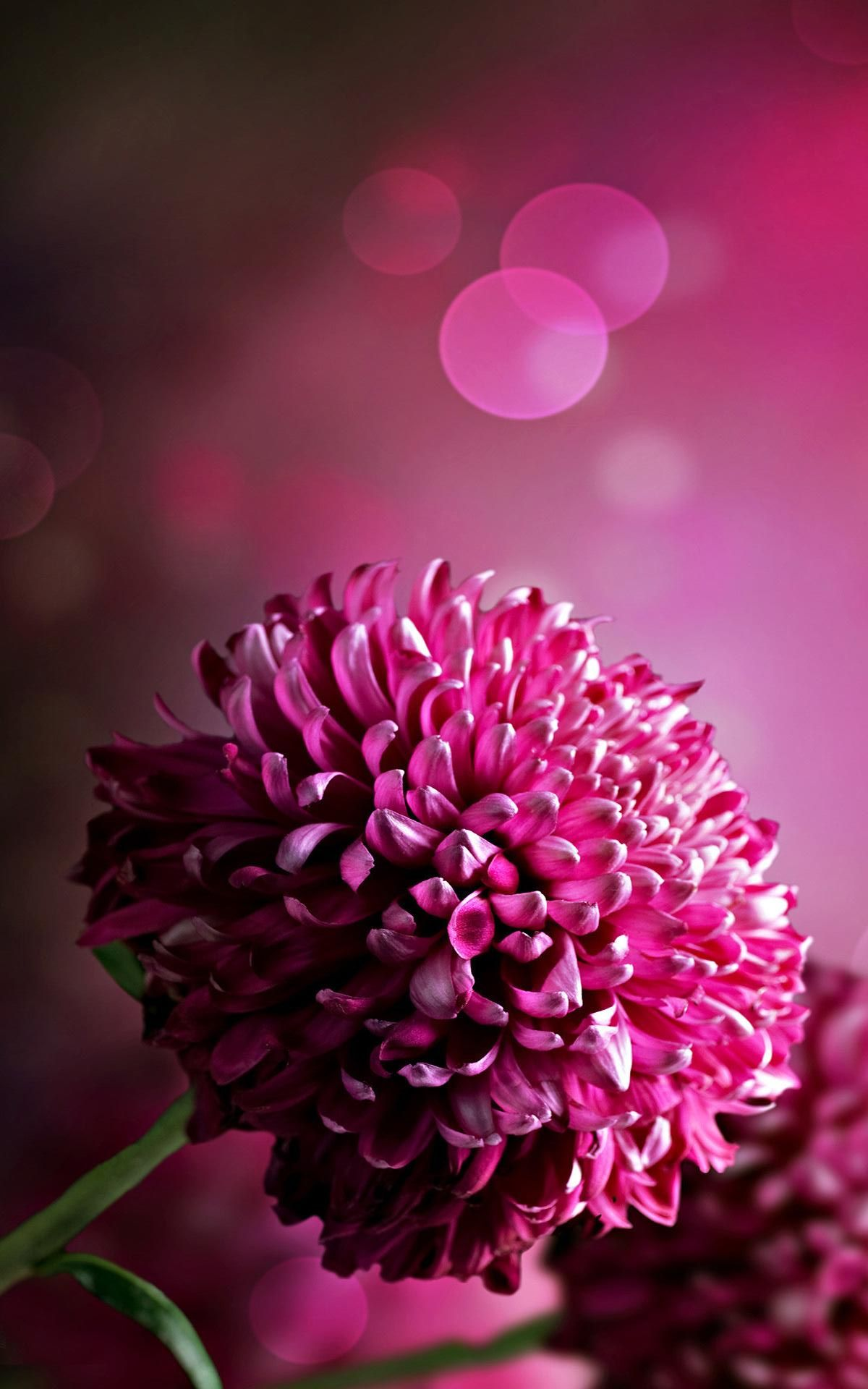 Dark Pink Chrysanthemum Wallpaper Iphone Purple Flowers Wallpaper Hd Flower Wallpaper Amazing Flowers